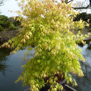 Acer palmatum 'Katsura' (Van Son & Koot BV)
