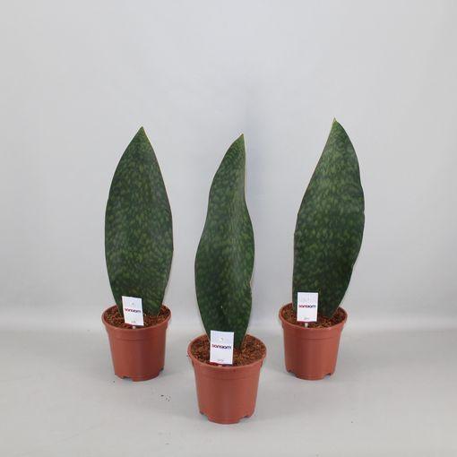 Sansevieria masoniana VICTORIA (Zeurniet, Kwekerij)