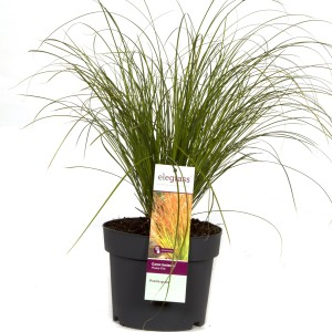 Carex testacea PRAIRIE FIRE COLORGRASS