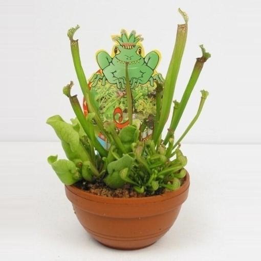 Sarracenia MIX (Stricker Plants)