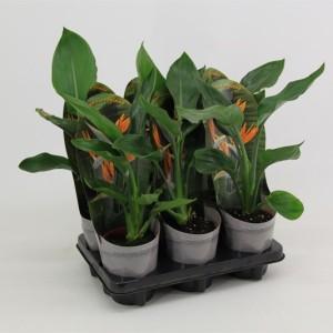 Strelitzia reginae (Van der Valk bv)