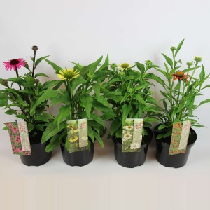 Echinacea MOOODZ MIX (B.D. Rijnbeek Boomkwekerijen B.V.)