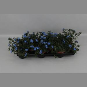 Lithodora diffusa 'Heavenly Blue' (Gebr. Grootscholten)
