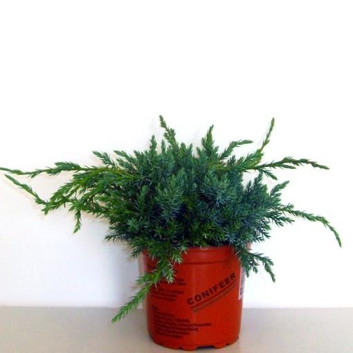Juniperus squamata 'Blue Carpet' (Boomkwekerij Potcultuur Gebr. Rademaker)