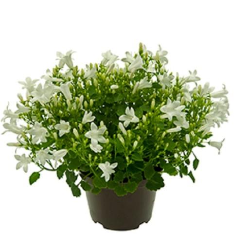 Campanula portenschlagiana WHITE GET MEE (Gasa DK)