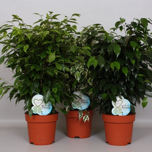 Ficus MIX (Peeters Potplanten)
