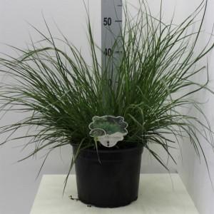 Pennisetum alopecuroides 'Hameln' (Van Tol & Van der Linde)