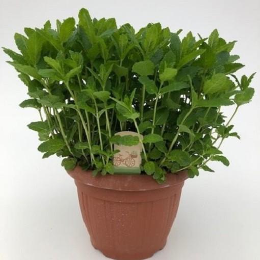 Mentha spicata 'Moroccan' (Green Collect Sales)