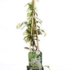 Trachelospermum jasminoides (Hoogeveen Plants)