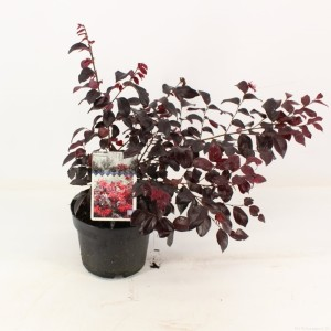 Loropetalum chinense EVER RED