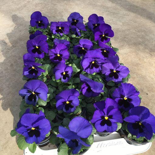 Viola x wittrockiana DELTA F1 BEACONSFIELD (Rodon Rolff B.V.)