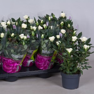 Rosa FREJA PARADE (Nolina Kwekerijen B.V.)