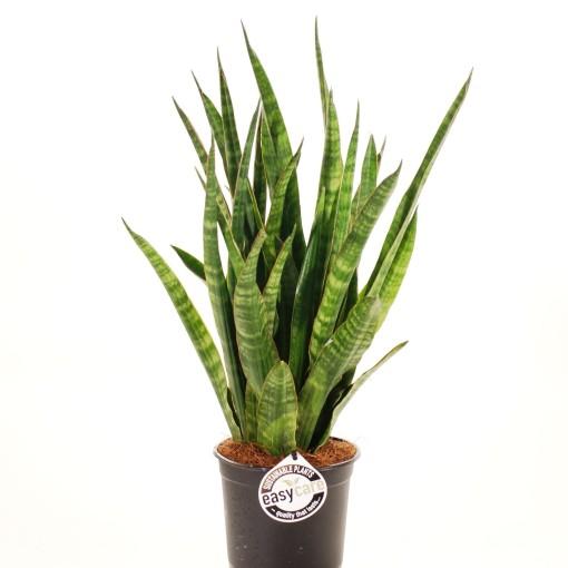 Sansevieria cylindrica 'Javanica' (Feldborg A/S)