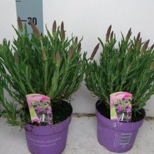 Lavandula stoechas lusitanica (Experts in Green)