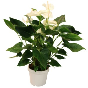 Anthurium KARMA WHITE