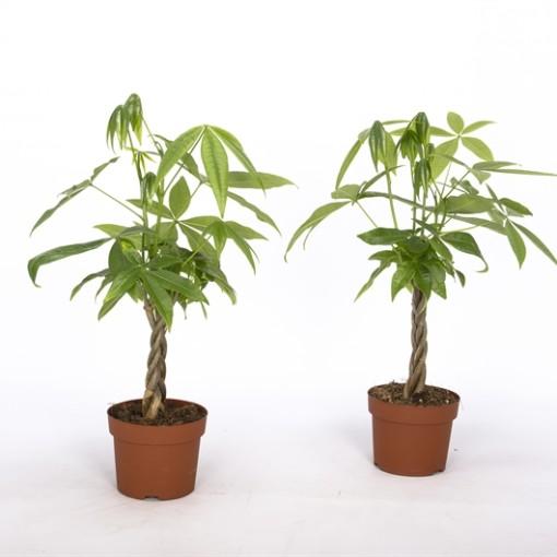 Pachira aquatica (Bunnik Plants)