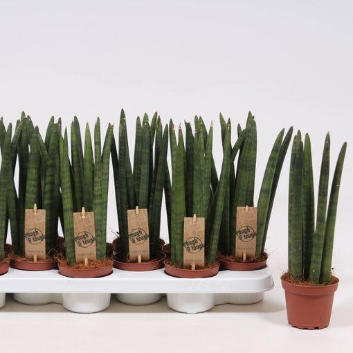 Sansevieria cylindrica 'Straight' (Fachjan)