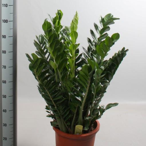 Zamioculcas zamiifolia (De Amstel BV)