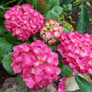 Hydrangea macrophylla 'Glowing Embers' (About Plants Zundert BV)