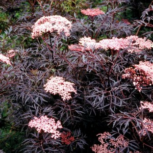 Sambucus nigra BLACK LACE (Dool Botanic)
