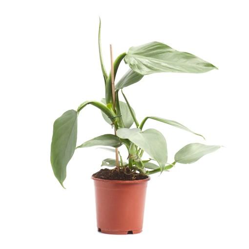 Philodendron hastatum (Ichtus Flowers)