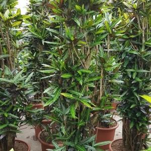 Codiaeum variegatum 'Batik'
