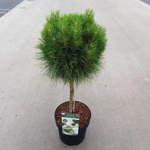 Pinus 'Summer Breeze'