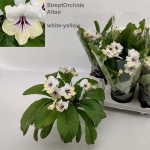 Streptocarpus 'Altair' (Hofstede Hovaria)
