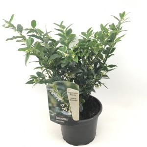 Sarcococca hookeriana (Oprins Plant)