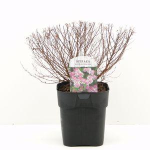 Spiraea japonica 'Little Princess' (Hooftman boomkwekerij)