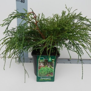 Chamaecyparis pisifera 'Filifera Nana'