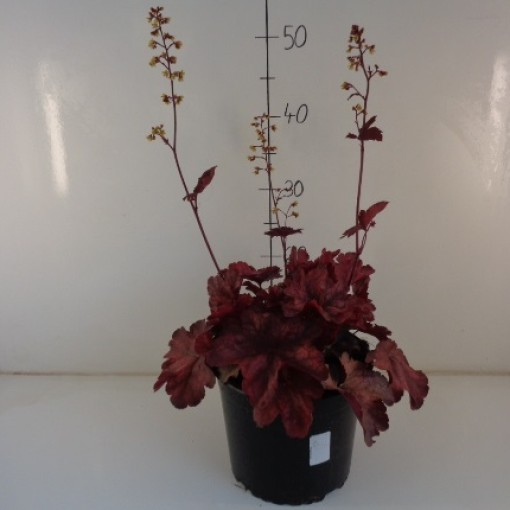 Heuchera 'Root Beer' (Experts in Green)
