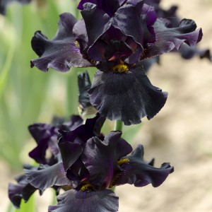 Iris 'Black Gamecock' (van der Velde Waterplanten BV)