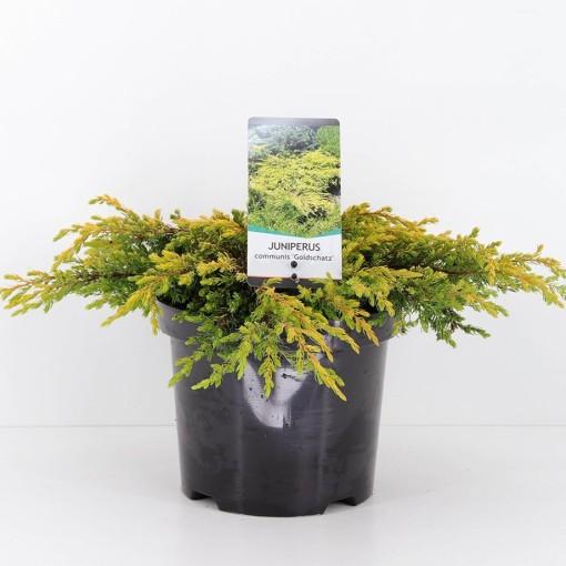 Juniperus communis 'Goldschatz' (Bremmer Boomkwekerijen)