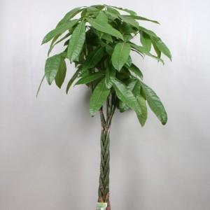 Pachira aquatica (Vireõ Plant Sales)