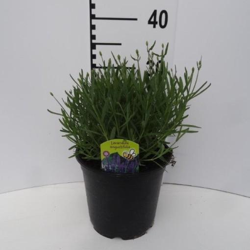 Lavandula angustifolia 'Essence Purple' (Experts in Green)