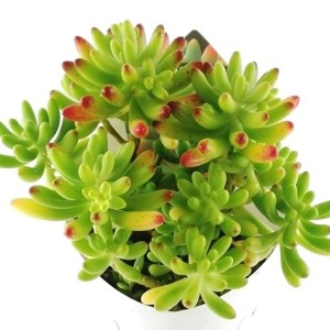 Sedum pachyphyllum