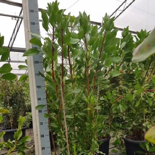Protea 'White King' (Flora Toscana)