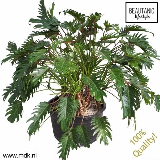 Philodendron xanadu (MDK Plants)