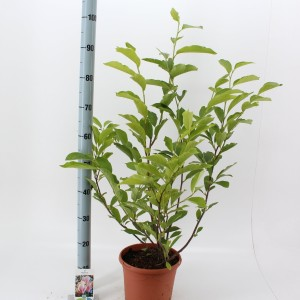 Magnolia x soulangeana (About Plants Zundert BV)