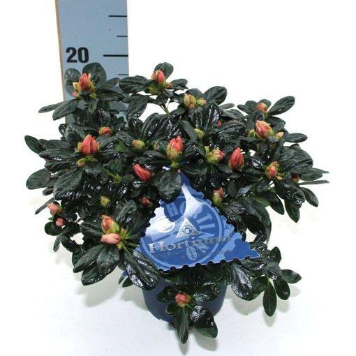 Rhododendron HORTINNO CHRISTINE MATTON (Experts in Green)