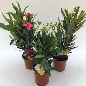 Nerium oleander (Green Collect Sales)