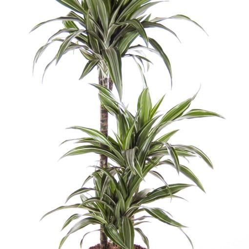 Dracaena fragrans 'Ulises' (Ammerlaan, The Green Innovater)