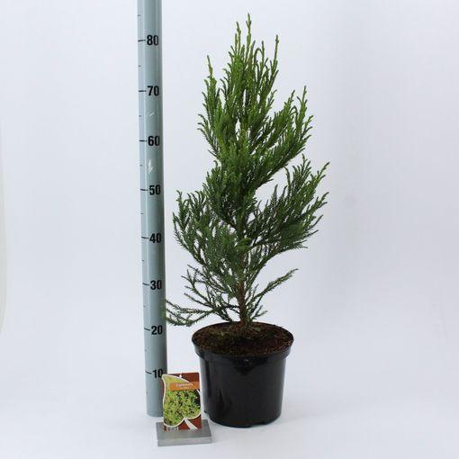 Cryptomeria japonica 'Jindai' (About Plants Zundert BV)