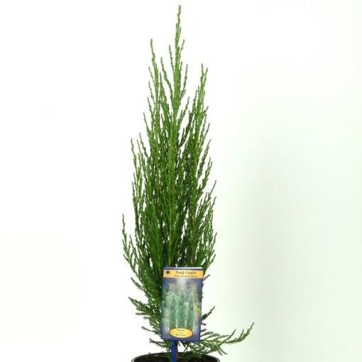 Juniperus scopulorum 'Blue Arrow' (Vredebest, Kwekerij)