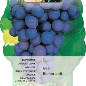 Vitis 'Rembrandt' (BOGREEN Outdoor Plants)