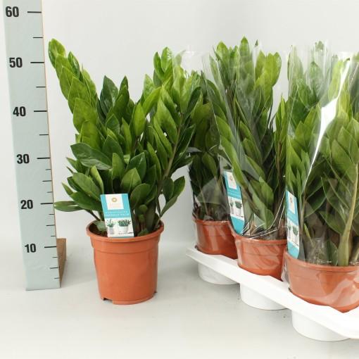 Zamioculcas zamiifolia (Winden Erica, Kwekerij van)