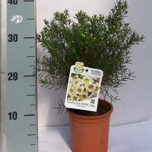 Chamelaucium 'Chantilly Lace'