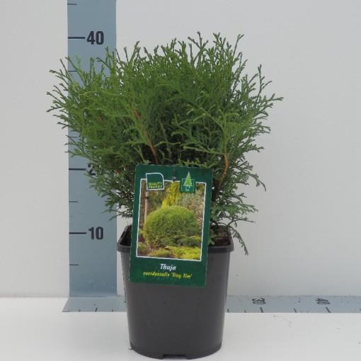 Thuja occidentalis 'Tiny Tim' (Koekoek Potcultures, de)