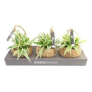 Chlorophytum comosum 'Ocean' (Kokodama)